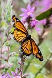 Una mariposa de monarca en una planta de la lisimaquia púrpura imagen de archivo