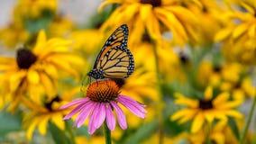 Una mariposa de monarca en una flor púrpura del cono del Echinacea Foto de archivo libre de regalías