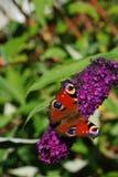 Una mariposa de pavo real (Inachis io) Fotos de archivo
