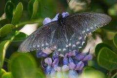 Una mariposa de Pipevine Swallowtail separa sus alas imagen de archivo