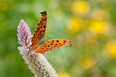 Una mariposa del fritillary Fotos de archivo libres de regalías