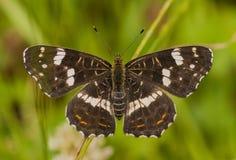 Una mariposa del mapa Fotografía de archivo libre de regalías