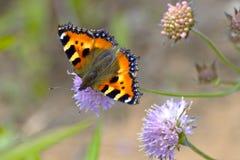 Una mariposa del pelirrojo en la flor salvaje púrpura Imagenes de archivo