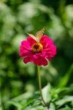 Una mariposa en el zinnia de la rosa Fotos de archivo