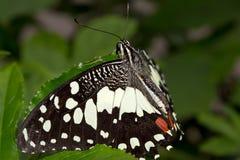Una mariposa en una hoja imagen de archivo