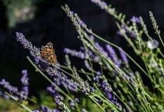 Una mariposa en la lavanda Foto de archivo