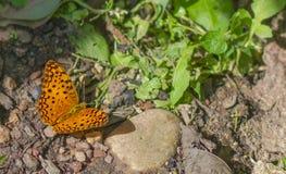 Una mariposa en la tierra Fotografía de archivo