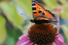 Una mariposa en un coneflower púrpura Foto de archivo libre de regalías