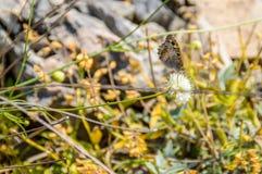 Una mariposa en una flor en la tierra rocosa con el fondo suave Imagen de archivo