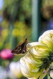 Una mariposa en una margarita imagenes de archivo