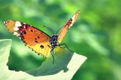 Una mariposa encaramada en las hojas hermosas Fotos de archivo