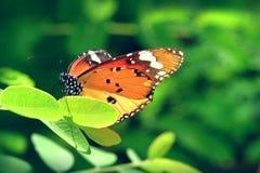 Una mariposa encaramada en las hojas hermosas Imagen de archivo