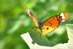 Una mariposa encaramada en las hojas hermosas Fotografía de archivo libre de regalías