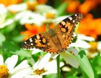 Una mariposa goza del polen en un jardín de flores Imagenes de archivo