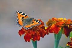 Una mariposa grande del pelirrojo en las flores rojas Imagenes de archivo