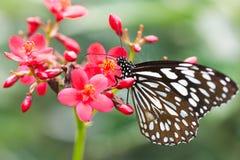 Una mariposa hermosa Fotos de archivo