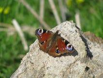 Una mariposa hermosa que miente en la roca Imagen de archivo libre de regalías