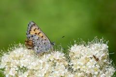 Una mariposa para en algunas flores blancas se cierra para arriba fotografía de archivo