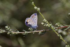Una mariposa Polyommatus azul común Ícaro se sienta en una rama de una planta fotos de archivo libres de regalías