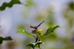 Una mariposa que comienza en una hoja Fotografía de archivo libre de regalías