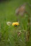 Una mariposa que dobla sus alas, se sienta en un diente de león entre t Foto de archivo