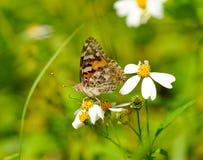 Una mariposa que recogía el néctar Fotografía de archivo libre de regalías