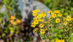 Una mariposa que viene a las flores imagen de archivo libre de regalías