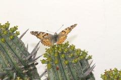 Una mariposa roja en nuestro jardín Imágenes de archivo libres de regalías