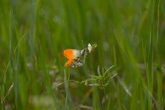 Una mariposa se sienta en una flor joven blanca de la primavera Foto de archivo
