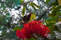 Una mariposa vieja en los jardines zoológicos, Dehiwala Colombo, Sri Lanka Imagen de archivo libre de regalías