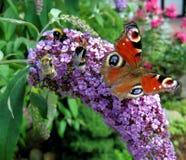Una mariposa y abejas Fotografía de archivo libre de regalías