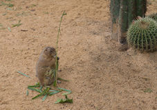 Una marmotta Fotografie Stock