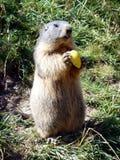 Una marmotta che mangia una mela Immagine Stock