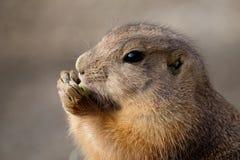Una marmotta che mangia uno spuntino fotografie stock
