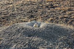 Una marmotta colpisce il suo hed dalla sua casa che controlla per vedere se c'è il pericolo fotografia stock