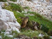 Una marmotta nelle rocce, dolomia, Italia fotografie stock libere da diritti