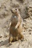 Una marmotta, stante dritta Fotografia Stock Libera da Diritti