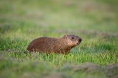 Una marmotta in un campo verde Fotografia Stock Libera da Diritti