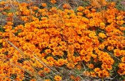 Una masa de las margaritas anaranjadas que crecen salvajes en un prado en Nueva Zelanda imagen de archivo