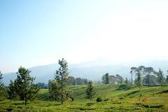 Una mattina fresca al giardino di tè Immagini Stock
