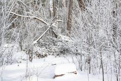 Una mattina nevosa in una foresta immagine stock