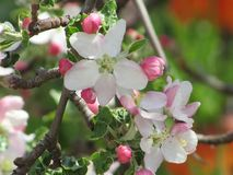 Una mela che fiorisce immagini stock libere da diritti