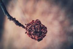 Una mela corrugata su un ramo dopo l'inverno immagine stock libera da diritti