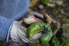 Una mela di balsamo di agricoltura biologica nella mano Fotografie Stock Libere da Diritti