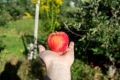 Una mela di recente selezionata nella mano Fotografia Stock