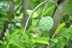 Una mela di ustard nel giardino Immagini Stock