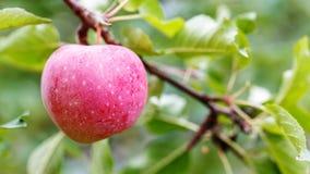 Una mela matura su un ramo di albero agricoltura per i frutti crescenti Fotografia Stock