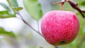 Una mela matura su un ramo di albero agricoltura per i frutti crescenti Immagini Stock