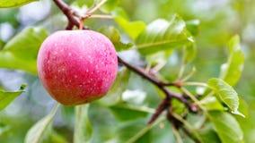 Una mela matura su un ramo di albero agricoltura per i frutti crescenti Immagini Stock Libere da Diritti
