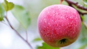 Una mela matura su un ramo di albero agricoltura per i frutti crescenti Fotografie Stock